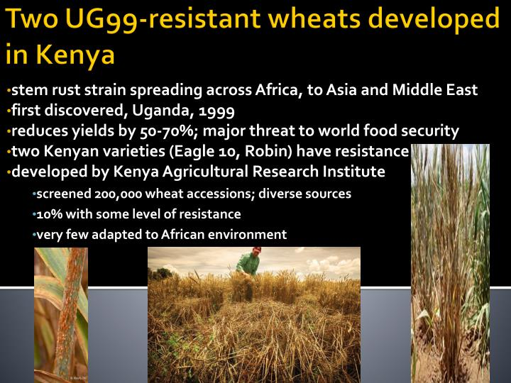 stem rust strain spreading across Africa, to Asia and Middle East
