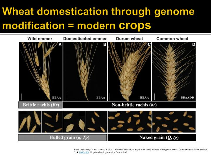 Wheat domestication through genome modification = modern