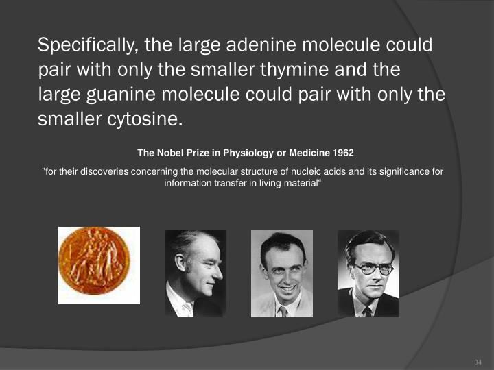 Specifically, the large adenine molecule could pair with only the smaller thymine and the large guanine molecule could pair with only the smaller cytosine.