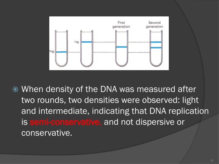 When density of the DNA was measured after two rounds, two densities were observed: light and intermediate, indicating that DNA replication is