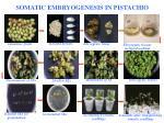 somatic embryogenesis in pistachio