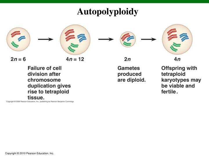 Autopolyploidy
