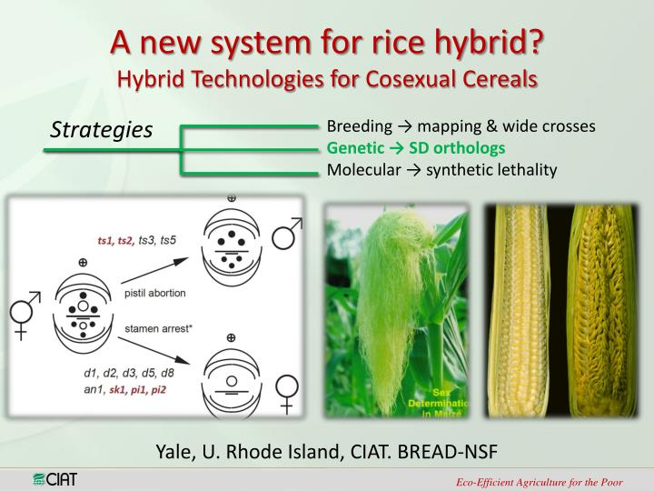 A new system for rice hybrid?