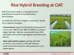 rice hybrid breeding at ciat