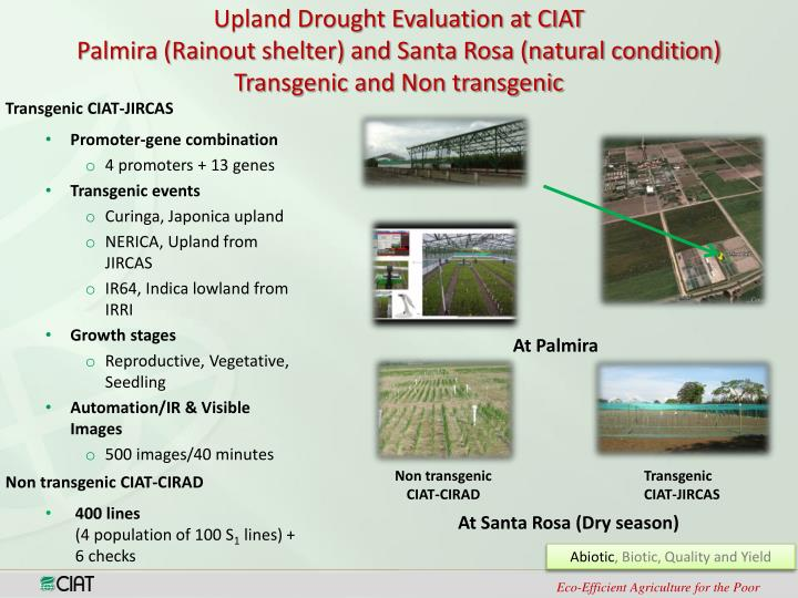 Upland Drought Evaluation at CIAT