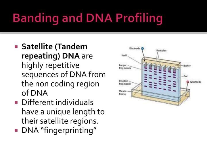 Banding and DNA Profiling