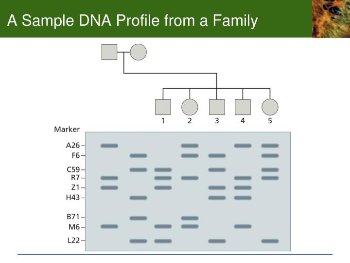 A Sample DNA Profile from a Family