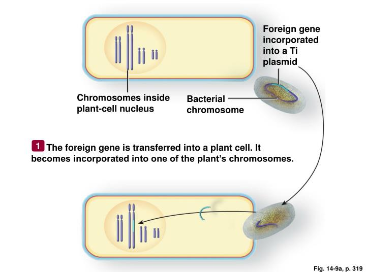 Foreign gene incorporated into a Ti plasmid