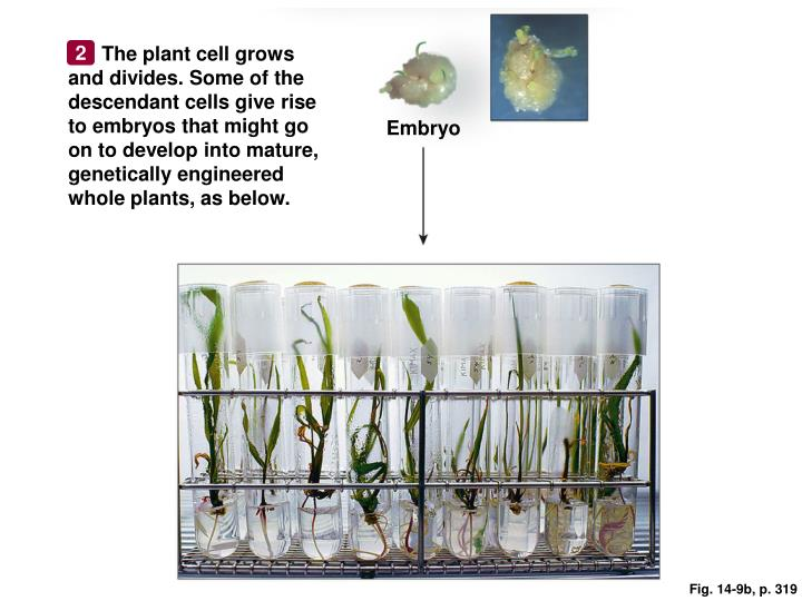The plant cell grows and divides. Some of the descendant cells give rise to embryos that might go on to develop into mature, genetically engineered whole plants, as below.
