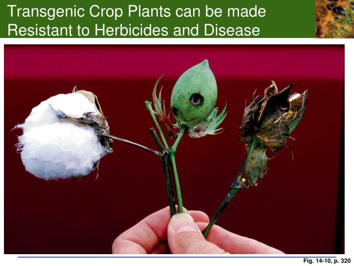 Transgenic Crop Plants can be made Resistant to Herbicides and Disease