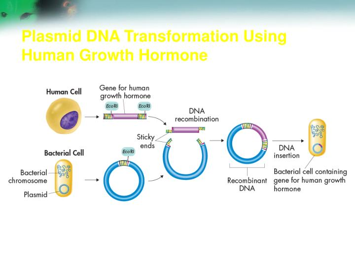 Plasmid DNA Transformation Using Human Growth Hormone