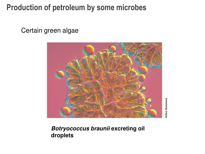 Production of petroleum by some microbes