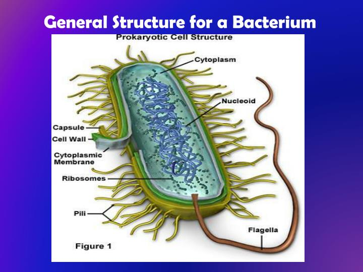 General Structure for a Bacterium