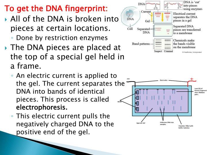 To get the DNA fingerprint: