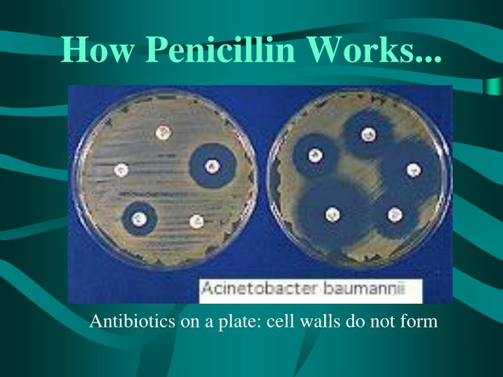 How Penicillin Works...