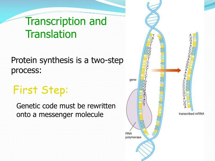 two steps of protein synthesis Dna replication & protein synthesis this isn't a baaaaaaaddd chapter the path leading from genes to proteins has two steps: transcription and translation.