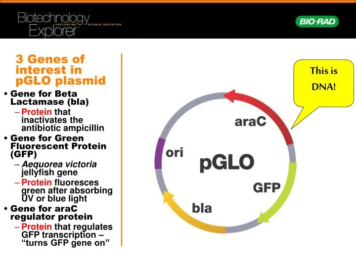 pglo transformation lab answers Ap lab #6: pglo transformation lab - free download as word doc (doc / docx), pdf file (pdf) or read online for free.