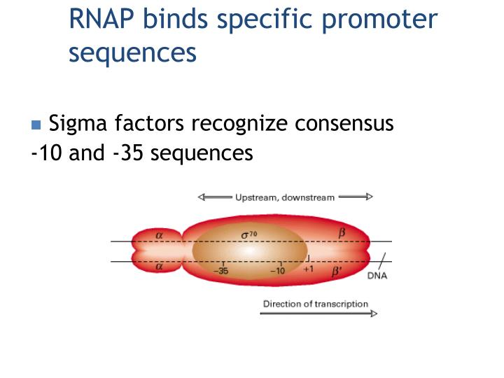 RNAP binds specific promoter sequences