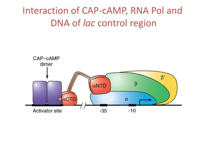 Interaction of CAP-cAMP, RNA Pol and
