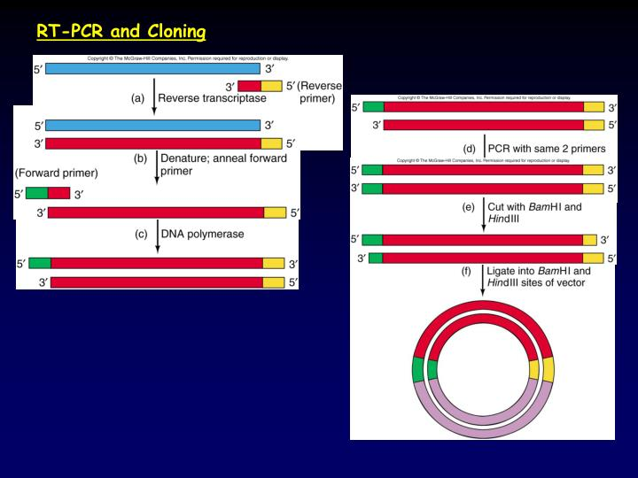 RT-PCR and Cloning