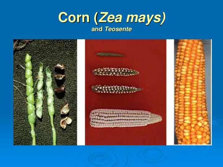 Corn (