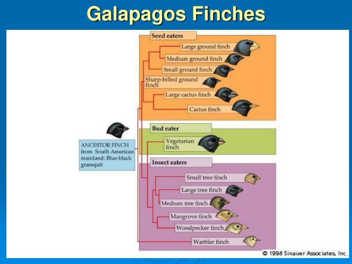 Galapagos Finches