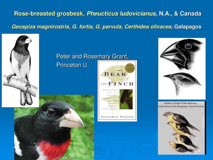 Rose-breasted grosbeak,