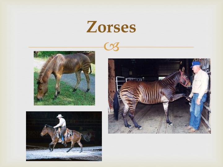 Zorses
