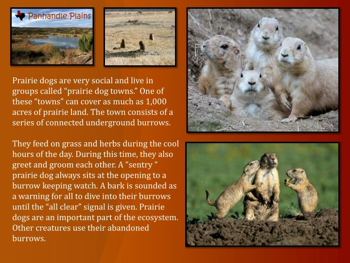"Prairie dogs are very social and live in groups called ""prairie dog towns."" One of these ""towns"" can cover as much as 1,000 acres of prairie land. The town consists of a series of connected underground burrows."