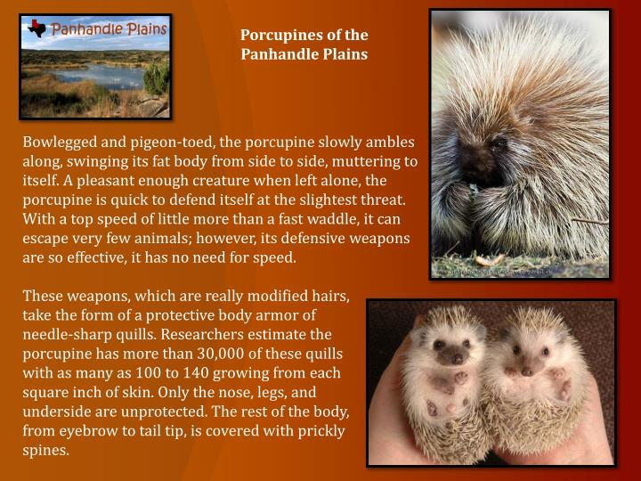 Porcupines of the