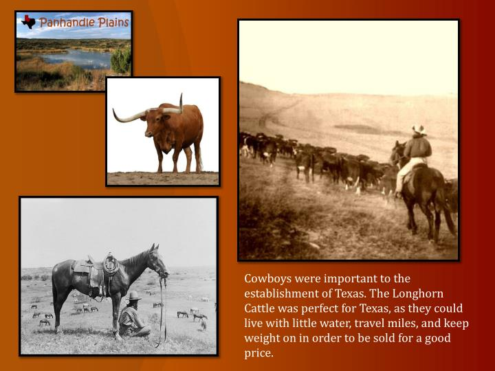 Cowboys were important to the establishment of Texas. The Longhorn Cattle was perfect for Texas, as they could live with little water, travel miles, and keep weight on in order to be sold for a good price.