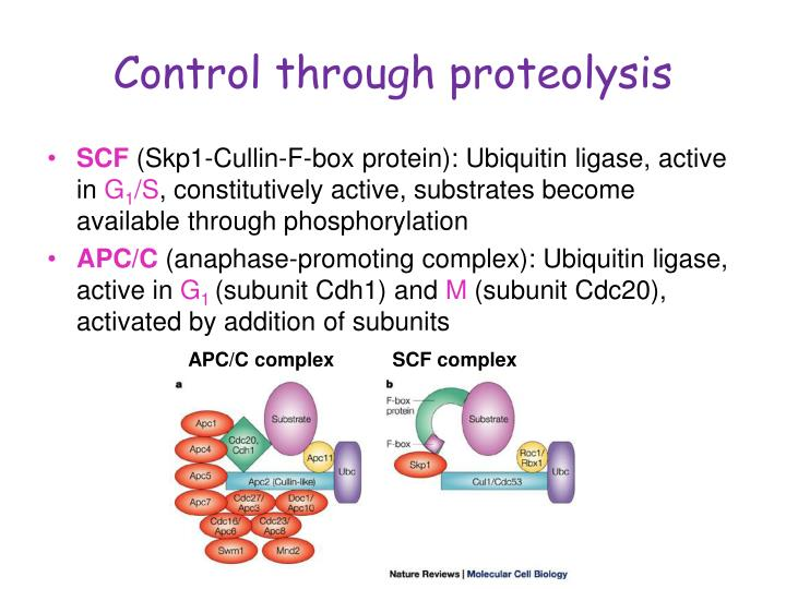 Control through proteolysis