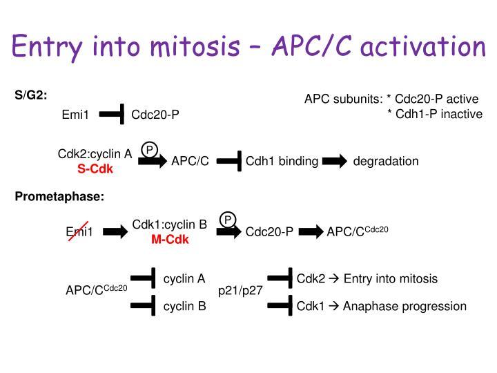 Entry into mitosis – APC/C activation