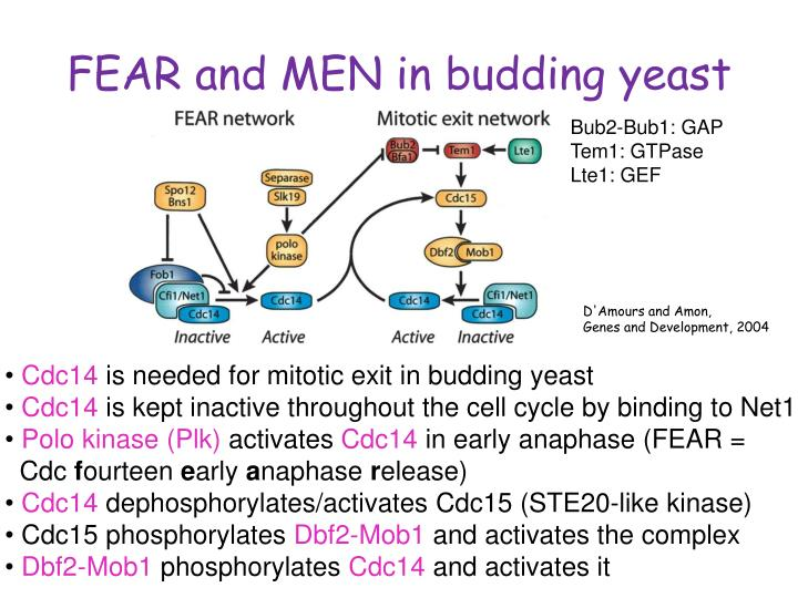 FEAR and MEN in budding yeast