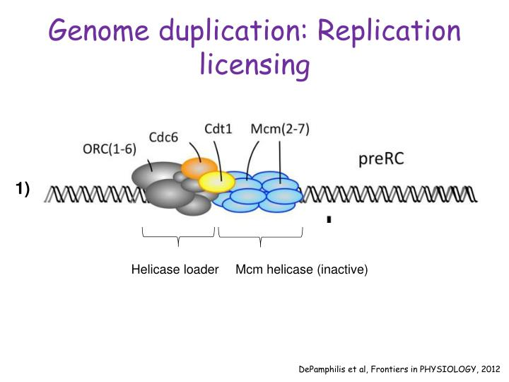 Genome duplication: Replication licensing