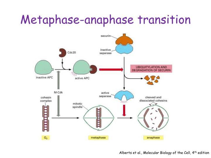 Metaphase-anaphase transition