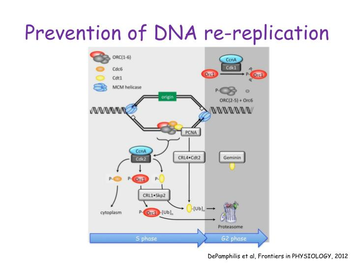 Prevention of DNA re-replication