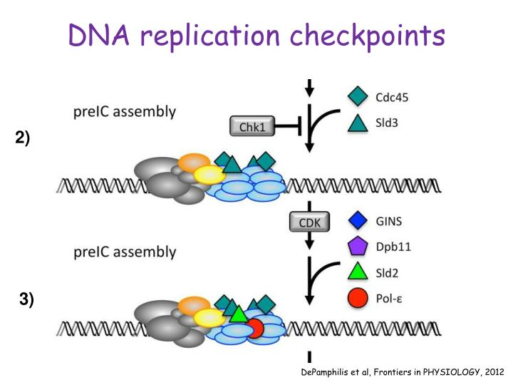 DNA replication checkpoints
