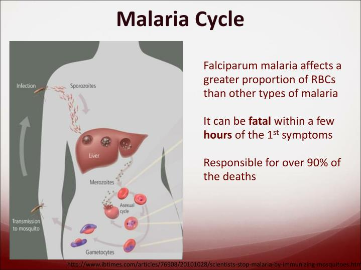 Falciparum malaria affects a greater proportion of RBCs than other types of malaria