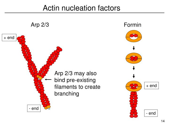 Actin nucleation factors