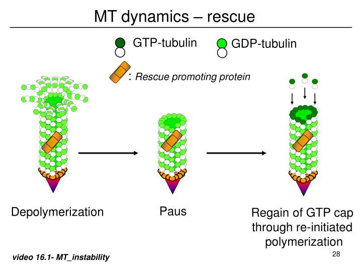 GTP-tubulin