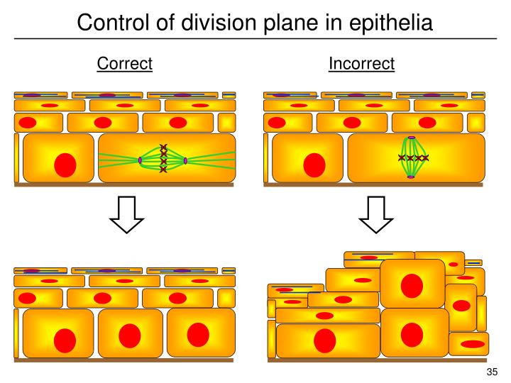 Control of division plane in epithelia