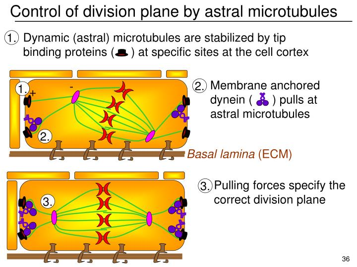 Control of division plane by astral microtubules