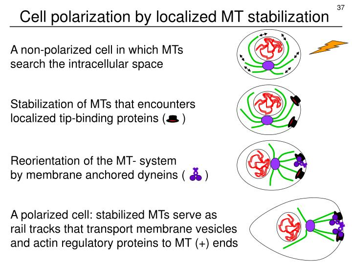 Cell polarization by localized MT stabilization