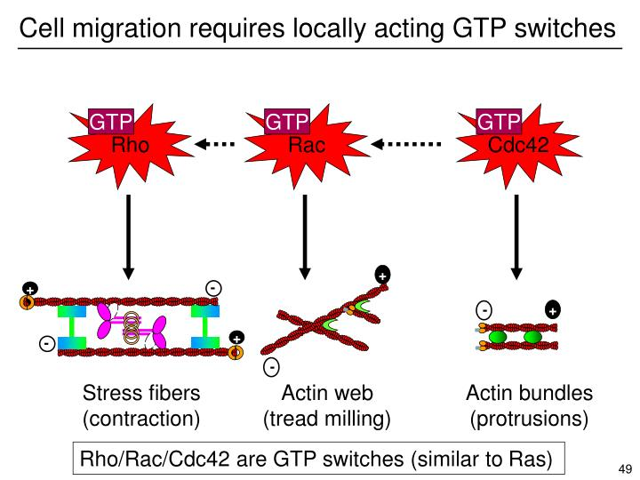 Cell migration requires locally acting GTP switches