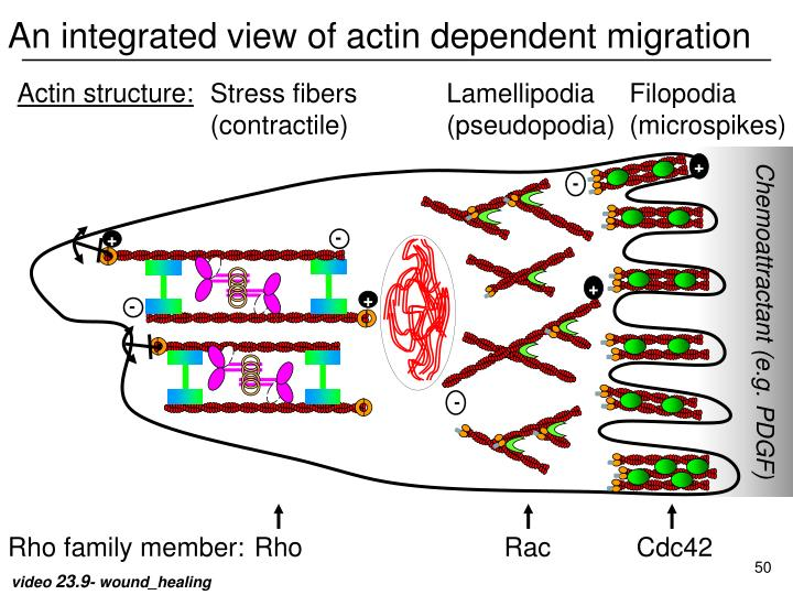 An integrated view of actin dependent migration