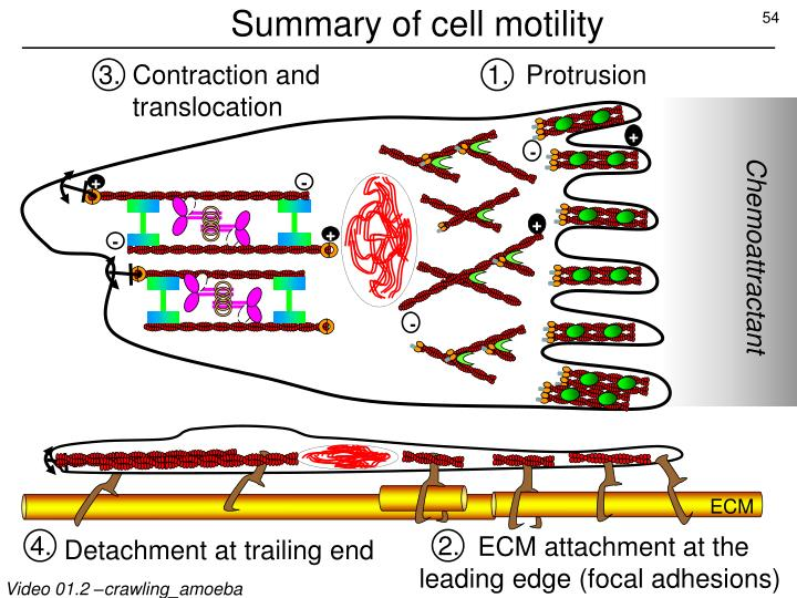 Summary of cell motility