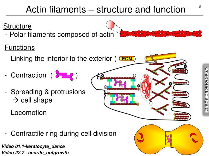 Actin filaments – structure and function