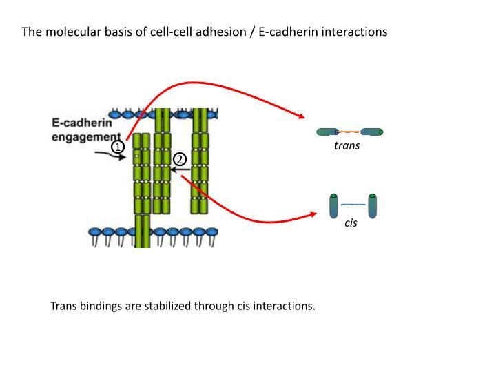 The molecular basis of cell-cell adhesion / E-