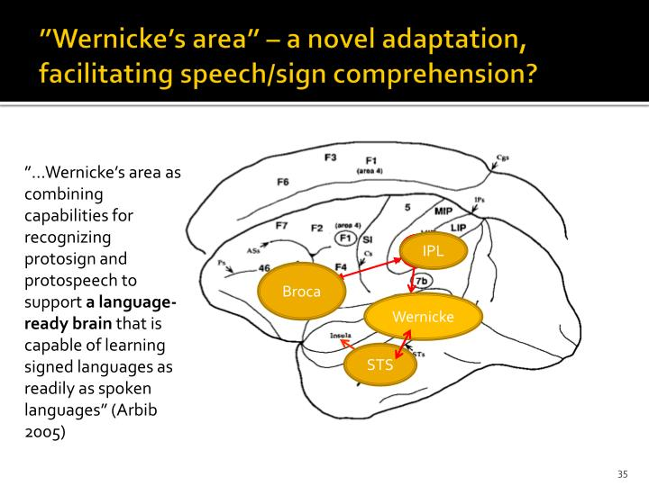 """Wernicke's area"" – a novel adaptation, facilitating speech/sign comprehension?"
